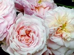 .: Gardens Ideas, Gardens Flowers, Heirloom Rose, Lights Pink, Beautiful Heirloom, Dreams Pink, Beautiful Flowers, Pink Rose, French Essence