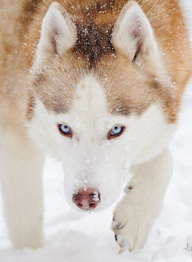 Repin if your dog loves the snow! #dogs #snow