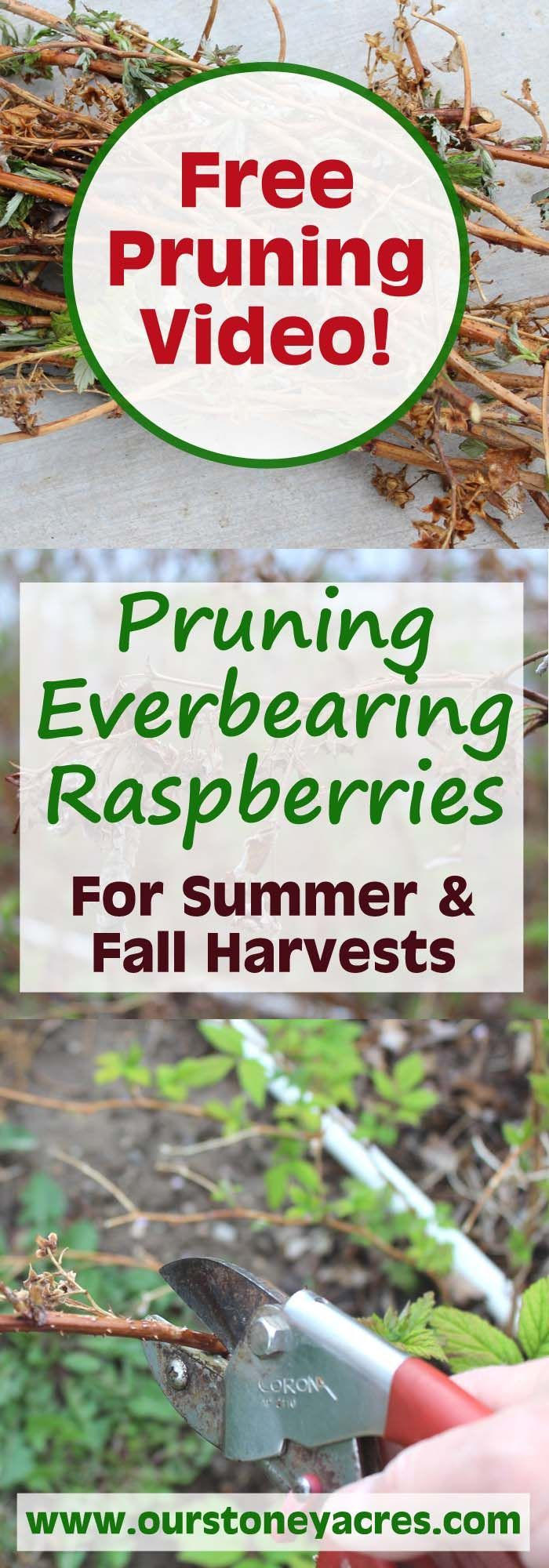 My raspberry patch is on my mind this time of year.  This pruning everbearing raspberries video demonstration will teach you how to prune everbearing raspberries for both a summer crop and a fall crop (or both!).