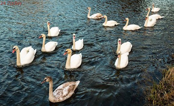 Veterináři potvrdili ptačí chřipku u labutě nalezené v Praze