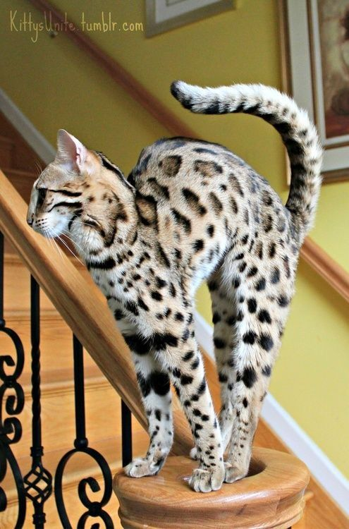 Savannah Cat - huge breed, has the temperament of a dog, and has gorgeous markings. Too bad they cost over $2,000!