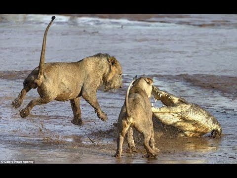National Geographic Lion VS Crocodile,The fight over food between anyone who will win Documentary