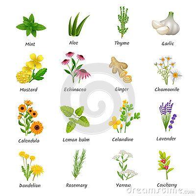 Iconos planos de las plantas medicinales de las hierbas fijados