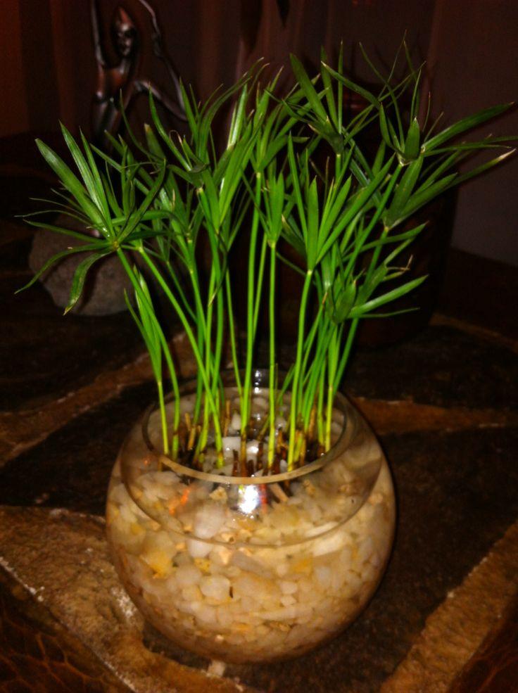 Hermosos papiros enanos con cuarzo, para brindar a tu hogar calidez y protección.