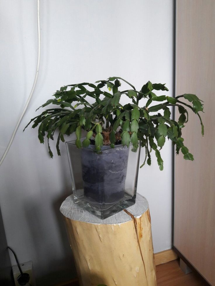 kaktus bożonarodzeniowy-cactus Szlumberger