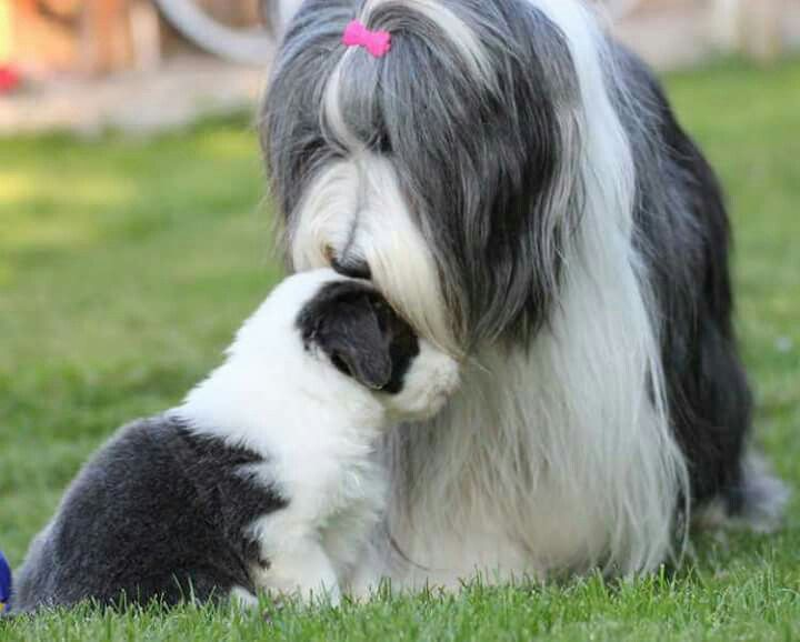 Bearded Collie mom and puppy