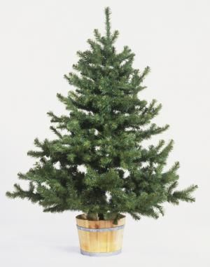 9 steps necessary for displaying a living Christmas tree in your home.: Christmas Tree in Bucket