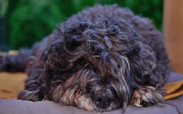 Download wallpapers 4k, Flanders Bouvier, fluffy dog, pets, cute animals, Bouvier des Flandres, dogs, Flanders Bouvier Dog