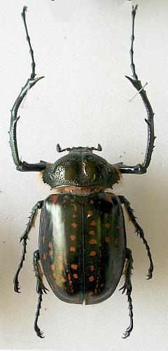 Cheirotonus peracanus Kriesche