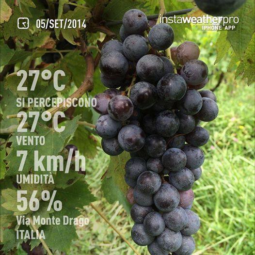 September 5th, 2015. grapes in the Allegrini Vineyard