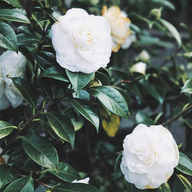 White roses. Fresh flowers