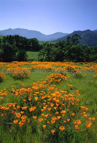California Poppies on Mount Diablo, Galen Rowell. Color palette.