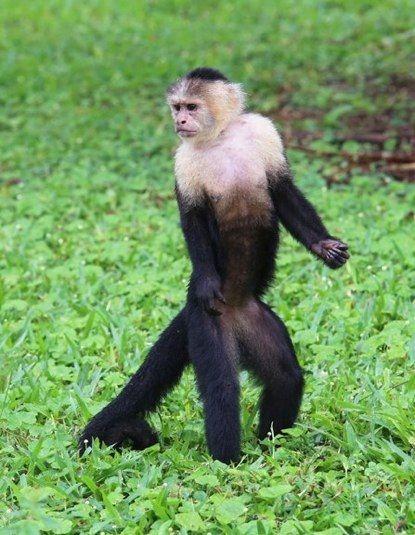 best 25 capuchin monkeys ideas on pinterest capuchin