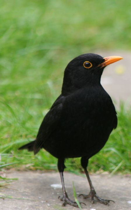 The blackbird - what a handsome devil - and what a songster, love to hear them singing away on a summer's evening.