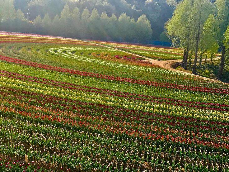 時期が過ぎてしまいましたが��きれいなチューリップ畑でした�� A nice tulip field. Although the buds are still hard, the flowers are not open so they lack glamorous. ☆ #チューリップ #チューリップ畑  #ちゅーりっぷ  #tulips #tulip  #tulipfields  #cute #lovely  #cuteflower #lovelyflower  #flowerstagram #flowerslovers  #flowerphotography  #japan_daytime_view #art  #世羅高原農場  #hiroshima #japan  #はる #spring #春  #はなまっぷ #はなまっぷ2017 http://gelinshop.com/ipost/1520264731884799918/?code=BUZELgMjEeu