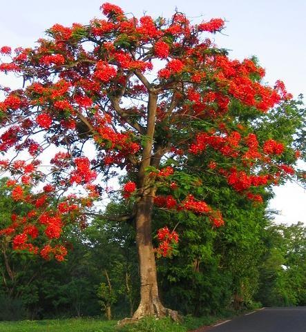 Está arvore chama-se Flor de Flamboyant ... Linda não é?.... - FlogVIP.net/sissimania