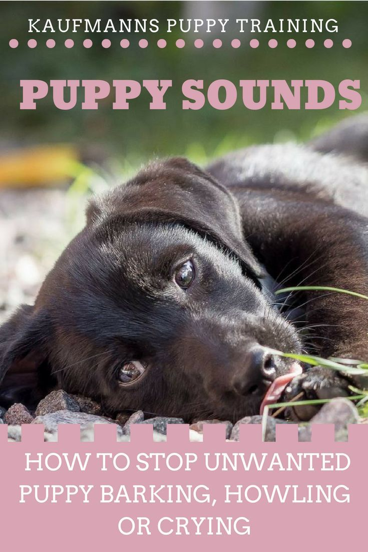 Puppy Sounds How To Stop Unwanted Puppy Barking Howling Or Crying Kaufmann S Puppy Training Puppy Barking Puppy Training Puppies