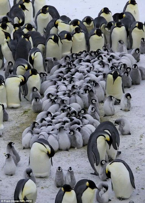 Look at that tidal wave of baby penguins                                                                                                                                                                                 More