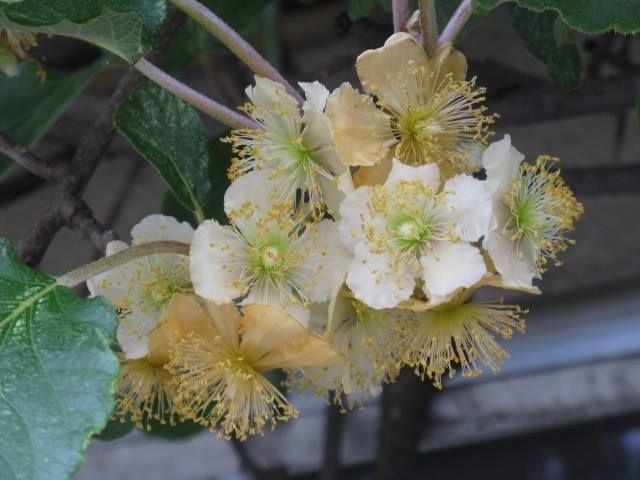 10月7日の誕生日の木は「キウイ」です。  マタタビ科マタタビ属の雌雄異株の落葉蔓性(つるせい)植物です。 原産地は中国(意外!)。別名は「シナサルナシ(支那猿梨)」。中国名は「獼猴桃(びこうとう)」といいます。5月~6月に白い6弁花をつけ、10月ころに褐色短毛に覆われた果実をつけます。 キウイの名前の由来は、もちろん果実の姿がニュージーランドの国鳥でありシンボルである、飛べない鳥「Kiwi(キーウィ)」に似ていることから名づけられました。 キウイは、原産地の中国では生薬として利用されていましたが、商業的栽培は行われていませんでした。1906年、中国を訪れたニュージーランド人の旅行者がキウイを持ち帰り、「チャイニーズ・グースベリー」として、ニュージーランドで紹介し、栽培されるようになりました。その後、「チャイニーズ・グースベリー」をニュージーランドからアメリカに輸出する際に、「キウイ」と命名されました。