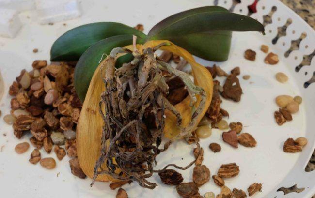 orchideen-krankheiten-wurzeln-faulen-stammfaeule-desinfizieren