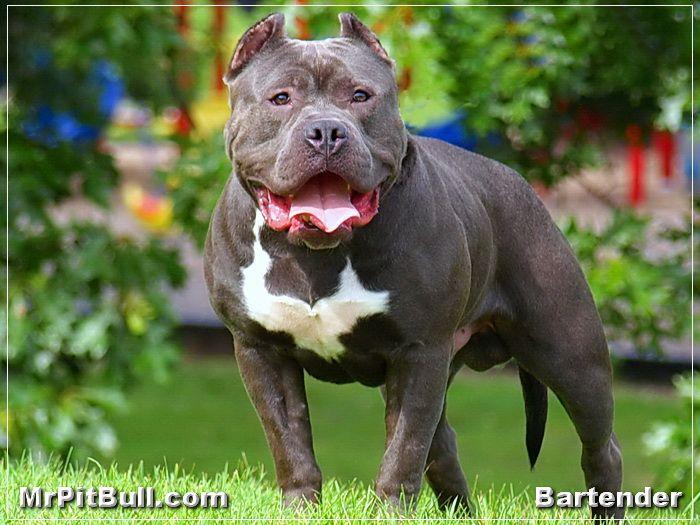 Huge Bully Pit Bulls | xxl-pitbull.JPG - HUGE BLUE NOSE PITBULL | XXL PITBULL A young ...