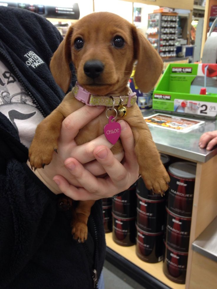"""The cutest puppy came in my work last night. She was hiding in her owner's jacket when somebody asked, """"Is that real?!"""""""