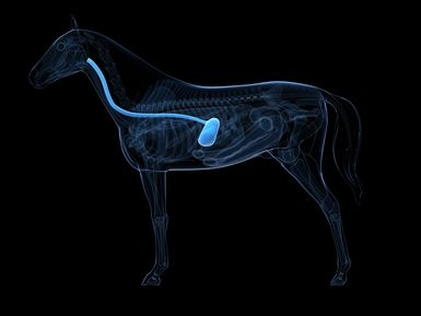 Horse digestive sytem, throat to stomach. - Image Credit:SCIEPRO/Getty Images