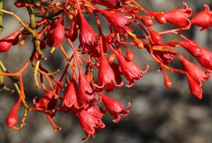 Brachychiton acerifolius - Flame Tree  This stunning tree puts on a spring and summer show of vivid red flowers and bracts. The flowers may appear on a tree that is leafless, partially leaved or in full leaf - based on the amount of winter and spring rain received.