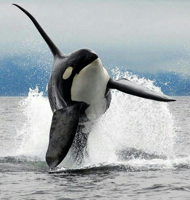 Orca  Look at the beautiful erect dorsal fin. As it should be in nature.