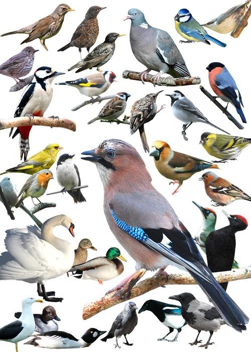 Svenska småfåglar