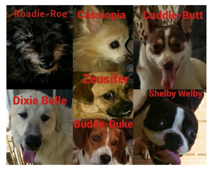 Roadie Ro-unknown #terrier mix Cassiopia- #Pomeranian Cuddle Butt- #Cojack #corgi #jackrussel mix Dixie Belle- #GreatPyrenees Zeusifer- #pomapug #Pomeranian #pug mix Buddy Duke- #Beagle  Shelby- #BostonTerrier   #dogs