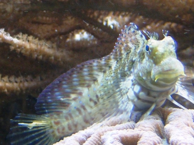 17 best images about our saltwater aquarium on pinterest for Saltwater goby fish
