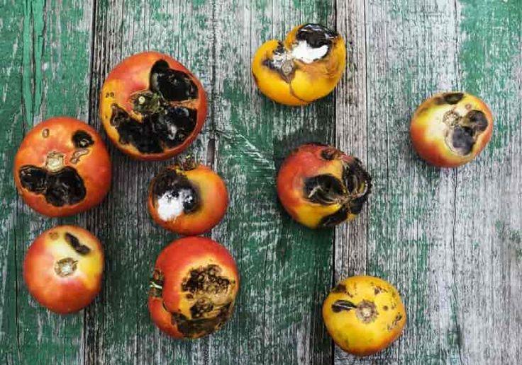 The 25 Best Tomato Plant Diseases Ideas On Pinterest 400 x 300