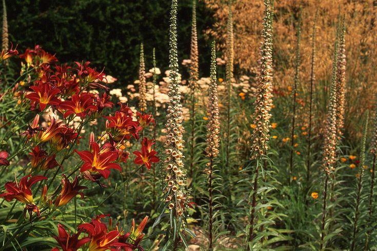 Hemerocallis 'Stafford' and Digitalis ferruginea (the daylily and the rusty foxglove).    Home Farm — Dan Pearson Studio