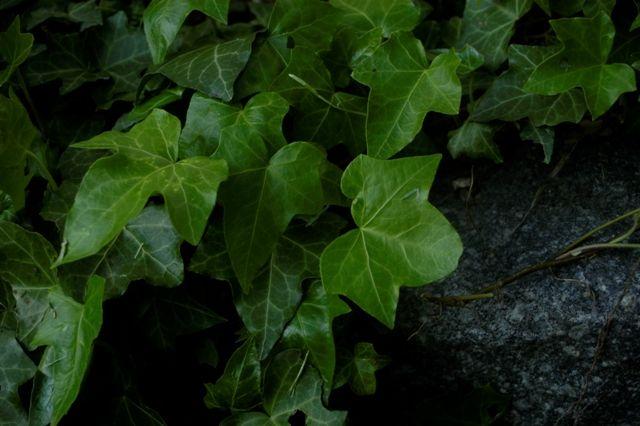 Břečťanová tinktura Břečťan patří mezi vynikající bylinky, kterési poradí…
