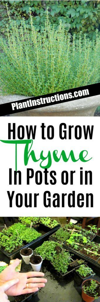 Growing thyme is NEVER a waste of time!