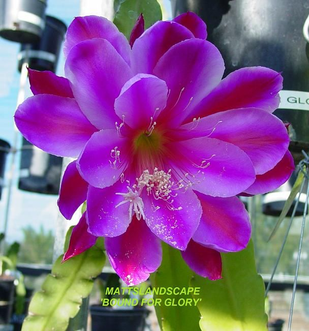 Epiphyllum hybrid 'Bound For Glory'