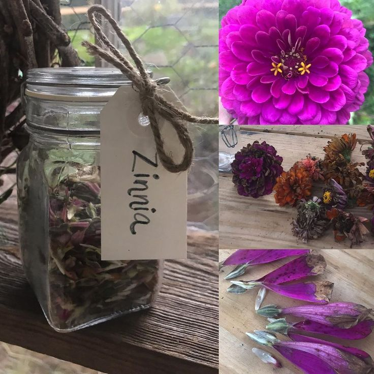 Harvesting zinnia seeds.  1. Cut dry flower tops from plants. 2. Pull dried peta…