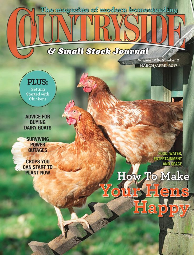 raising-chickens