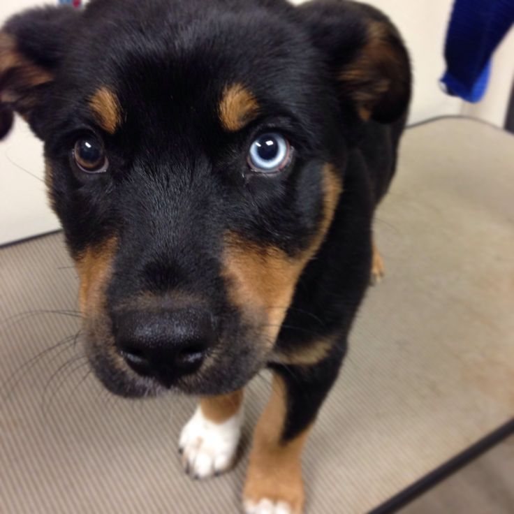 beautiful rottweiler/husky mix puppy
