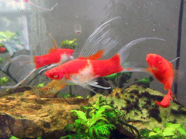 Hi fin lyretail albino koi swordtail fish i want to own for Molly fish for sale
