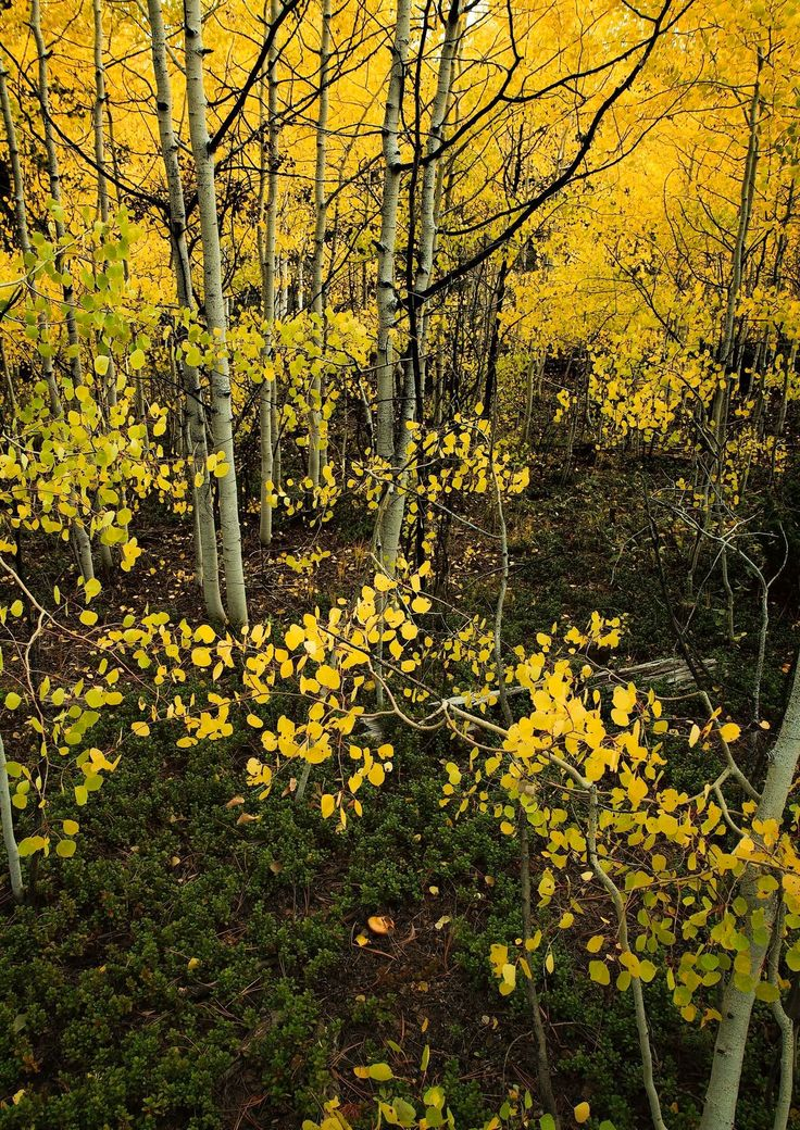 "*** ""Aspen"" (Colorado) by Johnny Gomez"