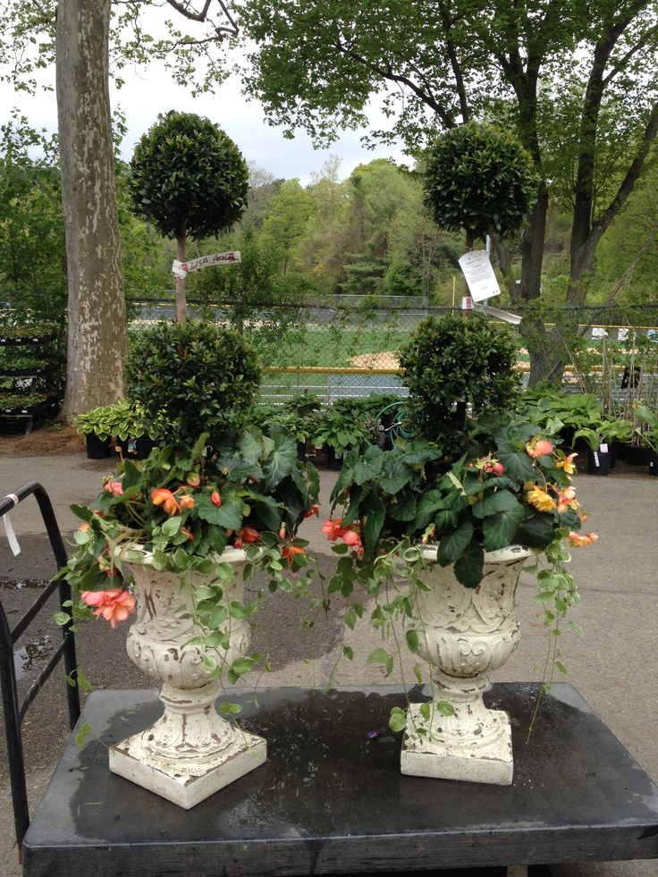Eugenia topiary, begonias and vinca vine