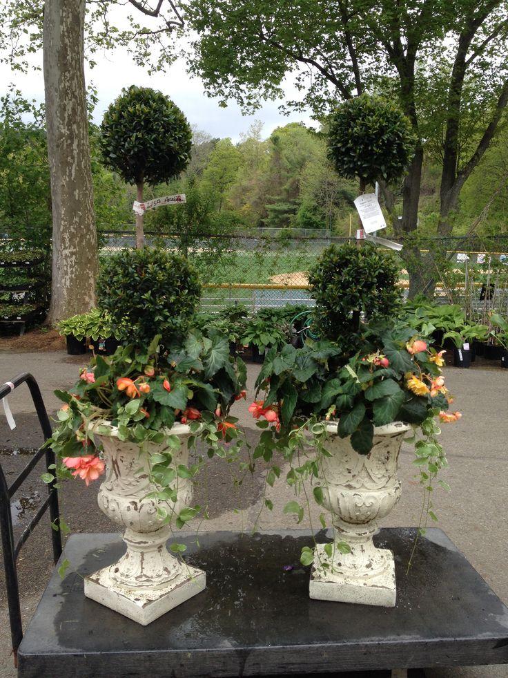 Eugenia topiary, begonias and vinca vine