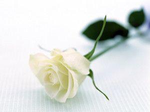 Beautiful White Roses Wallpaper Rose