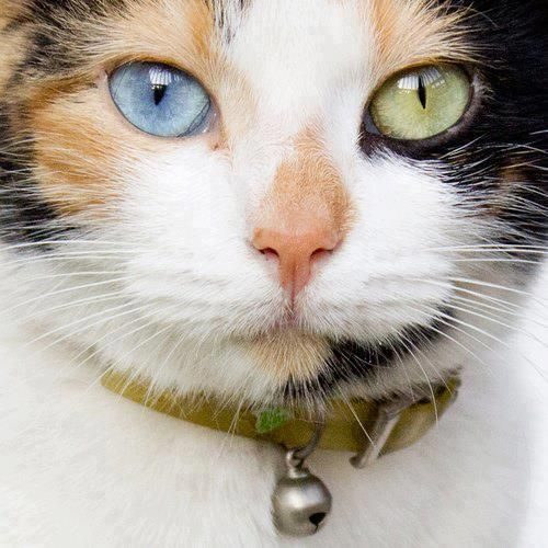105 best images about Calico Cat on Pinterest | Calico ...