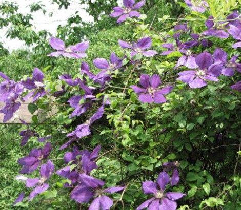 Bosrank - Clematis 'Jackmanii' Bladverliezende klimplant tot 2 - 3 meter hoogte. Bloemen halfknikkend 10 cm doorsnede. Fluwelig donkerpaars. Overdadig bloeiend. Juli - september. Na de winter evt. snoeien. Zonnige standplaats. Vruchtbare grond.