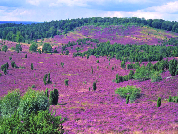 lüneburger heide - Germany Soft but brilliant colors - just wanna jump in!