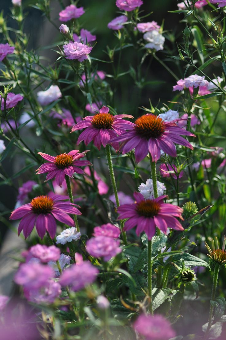 Echinacea and pinks