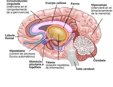 Cerebro secundario o emocional.